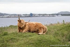 Skocka rasa wyżynna zwana w Szkocji Highland cattle